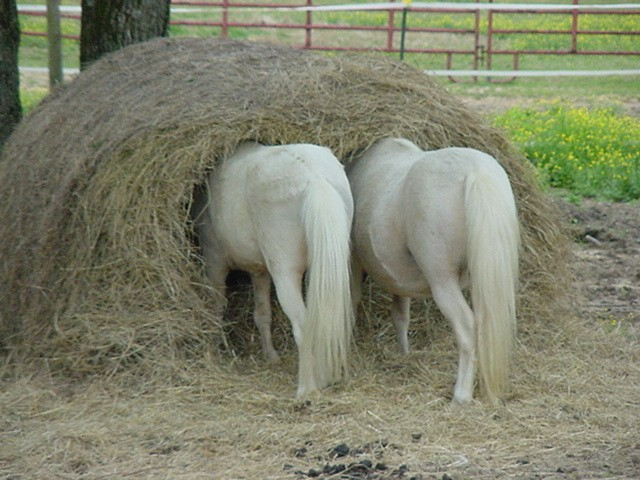 http://www.therefinedgeek.com.au/wp-content/uploads/2010/03/How-Ponies-Eat-a-Round-Bale.jpg